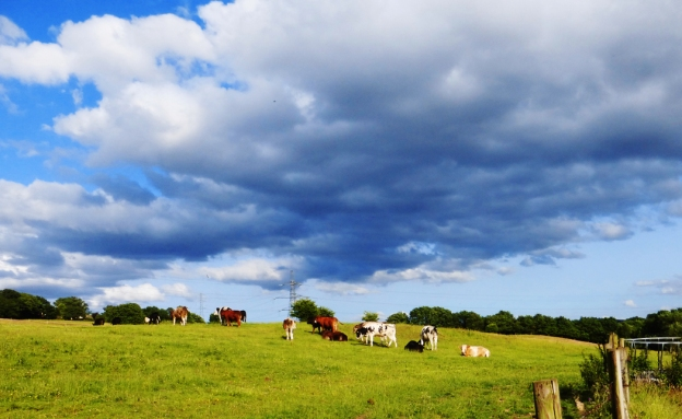 Cows in sunny field